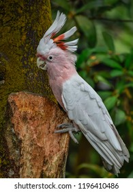 Major Mitchell's cockatoo, also known as the pink cockatoo