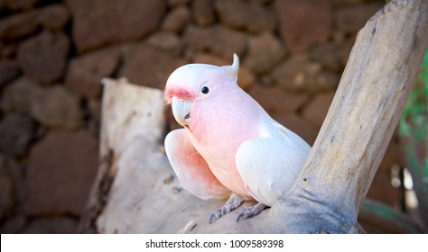 Major Mitchell's cockatoo (Lophochroa leadbeateri), Pink parrot, often seen in Australia