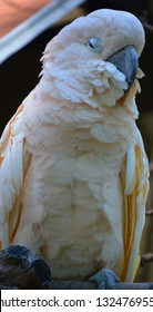 Major Mitchell's cockatoo (Lophochroa leadbeateri) also known as Leadbeater's cockatoo or pink cockatoo is a medium-sized cockatoo restricted to arid and semi-arid inland areas of Australia.