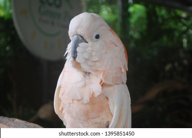 The Major Mitchell's cockatoo (Lophochroa leadbeateri), also known as Leadbeater's cockatoo or pink cockatoo, is a medium-sized cockatoo restricted to arid and semi-arid inland areas of Australia.