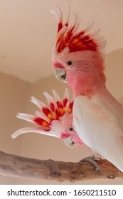 Major Mitchell's cockatoo (Lophochroa leadbeateri), also known as Leadbeater's cockatoo or the pink cockatoo