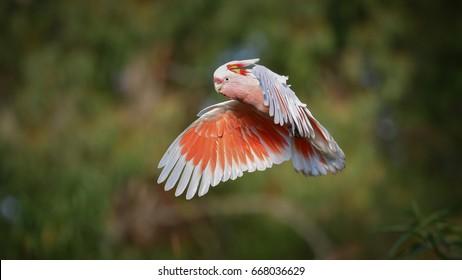 Major Mitchell's Cockatoo (Lophochroa leadbeateri) in flight. Flying bird with green nature blur background.