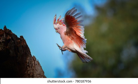 Major Mitchell's Cockatoo (Lophochroa leadbeateri) in flight. Flying bird prepared for landing on the tree with green nature and blue sky background.