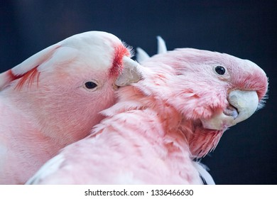 Major Mitchell's cockatoo pink