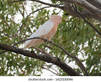Major Mitchell's cockatoo sitting on a branch with leaves at the background.