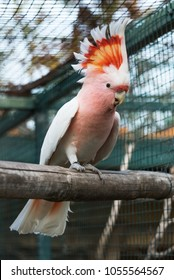 Major Mitchell's cockatoo in a zoo