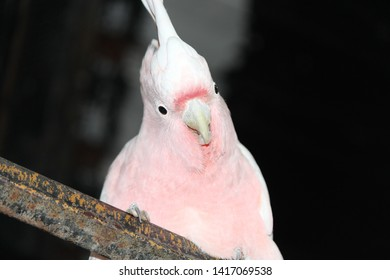 Major Mitchell's Pink Cockatoo in Australia
