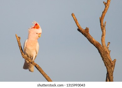 Major Mitchell's or Pink Cockatoo Lophochroa leadbeateri in Eulo, Queensland, Australia