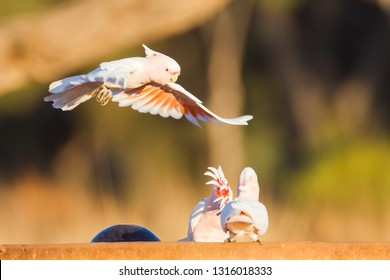 Major Mitchell's or Pink Cockatoo Lophochroa leadbeateri landing in Eulo, Queensland, Australia