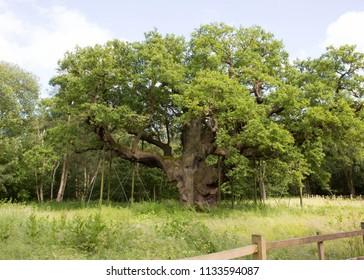 The Major Oak in Sherwood Forest, Nottinghamshire, England