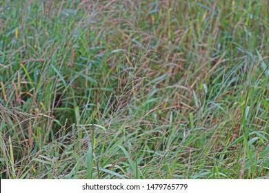 major weed in paddy field, barnyard grass