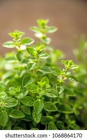 Majoram, Mediterranean spice in spring