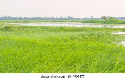 Majuli, Assam, India. Tall green grasses dance in the breeze following heavy monsoon rains and flooding on Majuli island, Assam, India.