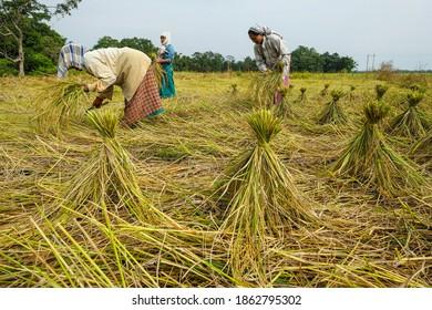 Majuli Island, India - November 2020: Women harvesting the rice crop in Majuli Island on November 19, 2020 in Assam, India.
