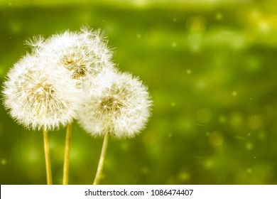 Make a wish. 3 blowballs dandelions on a green field background. Copyspace