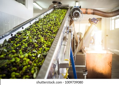 The making of extra virgin Olive Oil in Mola di Bari, Puglia