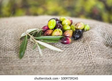 The making of extra virgin Olive Oil in Mola di Bari, Puglia