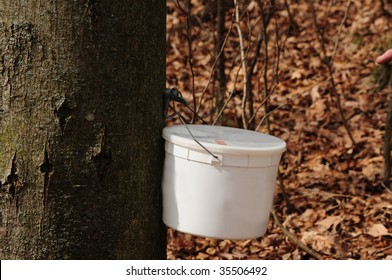 Making maple syrup - bucket used to catch sap for maple syrup