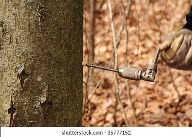making maple syrup drilling a hole in maple tree for sap harvest