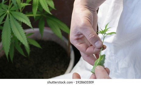 making marijuana clones from lower twigs with trimmed leaf edges using the pulp of aloe as a root former, men's hands dipping the stem of a cannabis leaf into aloe juice