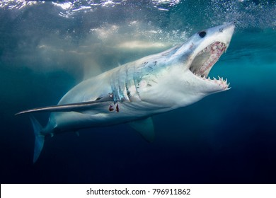 Shark images stock photos vectors shutterstock a mako shark with mouth open showing teeth thecheapjerseys Image collections