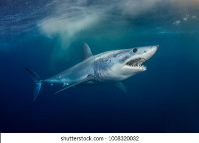 Mako Shark - short fin