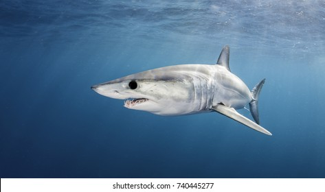 Mako shark swimming near the surface in blue water, 50 kms offshore past Western Cape, South Africa.