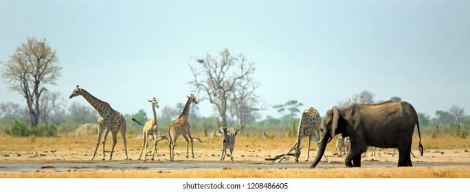 Makololo waterhole with Giraffes, Zebra and Elphant all coming to take a drink in the scorching African heat.  Hwange National Park, Zimbabwe -  Heat Haze is visible