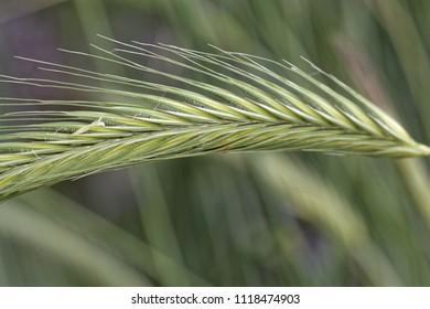 Makro photo of a Rye spike (Secale cereale) in a field.