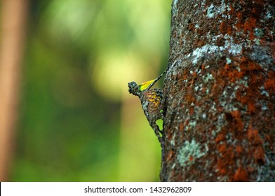 Malabar Gecko or Flying Lizard about to take flight