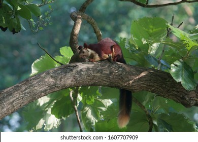 Malabar giant squirrel is a beautiful creature found in Indian subcontinent, generally around western ghats area. It mostly lives and creates it's nest on high branches of trees.