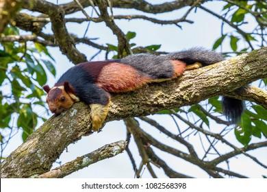 Malabar Giant Squirrel or Ratufa indica in a forest in Periyar, Kerala, India