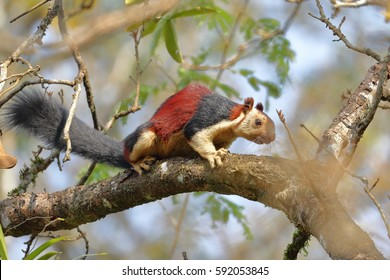 Malabar Giant Squirrel or Ratufa indica in a forest in Thattekkad, Kerala, India