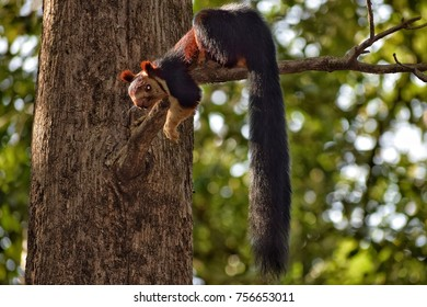 Malabar Giant Squirrel (Ratufa indica): Indian giant squirrel, these are the largest among the squirrels, commonly sighted in South India (western ghats)