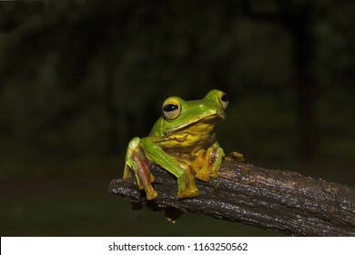 Malabar Gliding Frog, Rhacophorus malabaricus from Sharavathi Wildlife Sanctuary, Karnataka, India