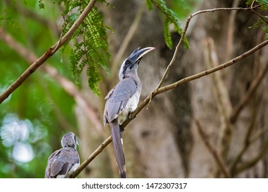 The Malabar grey hornbill is a hornbill endemic to the Western Ghats and associated hills of southern India. They have a large beak but lack the casque that is prominent in some other hornbill species