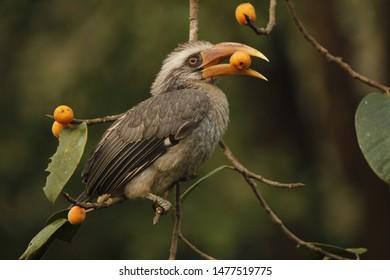 A Malabar Grey Hornbill enjoying berries.