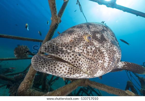 A Malabar grouper (epinephelus malabaricus) in the Red Sea.
