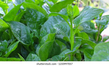 Malabar Nightshade ,Ceylon Spinach.Medicinal antidote abscess pain relief, inflammation, itching, eczema, food constipation, liver spots, solve gas diuretics. Reduce a fever.