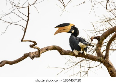 Malabar pied hornbill (Anthracoceros coronatus) perching on a branch with a white background