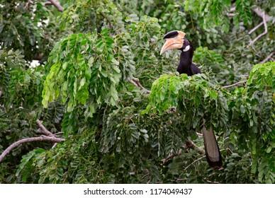 Malabar Pied-hornbill - Anthracoceros coronatus, large hornbill from Indian subcontinent, Sri Lanka.