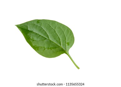Malabar spinach asian (Basella alba) leaf with water drops isolated on white background.