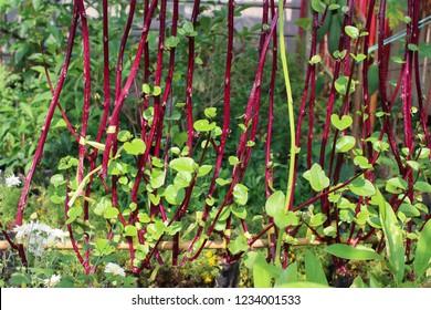 Malabar spinach or Ceylon spinach