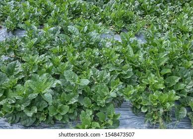 MALABAR SPINACH the ceylon spinach veggie