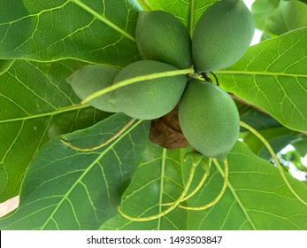 The Malabar tree or tropical almond. The name Terminalia catappa is a perennial plant of deciduous species. The leaves are single leaves The result is an oval or oval shape. Slightly flat, almond-like