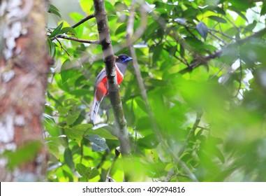 Malabar trogon (Harpactes fasciatus) in Sinharaja Forest Reserve,Sri Lanka