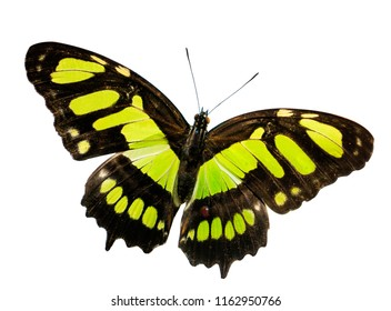 The malachite butterfly, Siproeta stelenes, with spread wings. The butterfly opened its wings with yellow-green spots on black. Isolated on white background