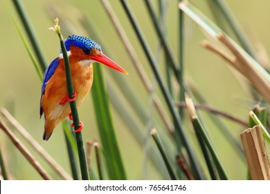 The malachite kingfisher (Corythornis cristatus) sitting on the reed. Kingfisher with green background. Kingfisher sitting on the reed.