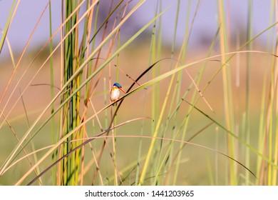 Malachite Kingfisher sitting on a bench in Botswana okawango delta