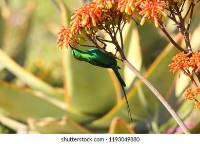 malachite sunbird male at aloe striata